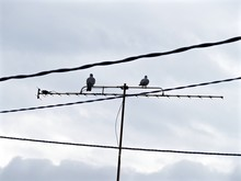 Pigeons On Television Aerial