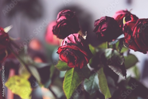 Obraz na plátně Wilting Red Roses