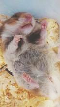 Close-up Of Hamster Sleeping At Home
