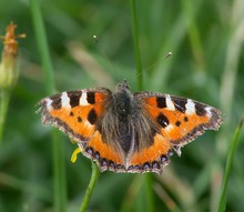 Close-up Of Small Tortoiseshell Butterfly On Plant