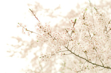 Close-up Of Cherry Blossoms Ag...