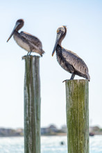 Two Brown Pelicans Parallel To Each Other On Pilings Sticking Out Of The Water