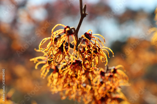 close up of a witch hazel plant - used to make an astringent that fights viruses Canvas Print