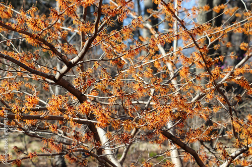 witch hazel plant - used to make an astringent that fights viruses like the flu Wallpaper Mural