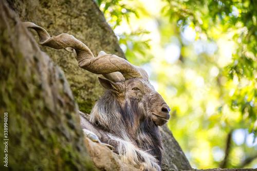 Photo Bukharan markhor (Capra falconeri heptneri), also known as the screw horn goat, Turkomen Markhor