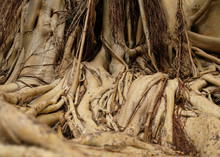 Close View Of Roots Of A Banyan Tree. (Ficus Bengalensis)