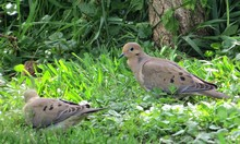 Mourning Doves In Backyard