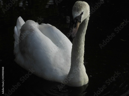 Canvas-taulu High Angle View Of Swan Swimming In Lake