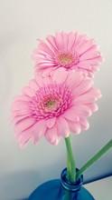 Close-up Of Pink Gerbera Daisies In Vase At Home