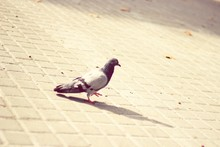 Pigeon Walking On Pavement