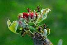 Close Up Of Ants On Flower Bud