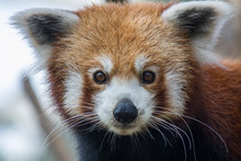 A Red Panda (Ailurus Fulgens) Closeup Image It Is A Mammal Native To The Eastern Himalayas And Southwestern China The Red Panda Has Reddish-brown Fur, A Long, Shaggy Tail, And A Waddling Gait