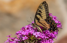 An Eastern Tiger Swallowtail Butterfly Feeds On A Cluster Of Small Purple Flowers