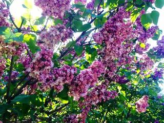 Panel Szklany Do sypialni Purple Lilac Flowers Growing On Tree