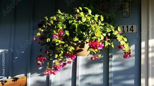 Fotografia, Obraz Fuchsia Flower On Wall