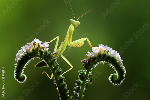 Cuadros en Lienzo green praying mantis