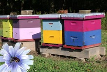 Row Of Brightly Colored Bee Hive Boxes With Close-up Of Honeybee Pollinating Mauve Thistle Flower