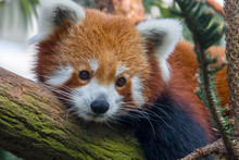 A Red Panda Is Lying On The Tr...
