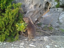 Close-up Of Hyrax On Rock By Plant