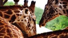 Close Up Of Giraffes