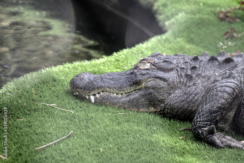 Photo Alligator and a pond