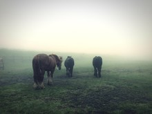 Horses Walking On Field During Foggy Weather