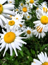 Daises Blooming In Park