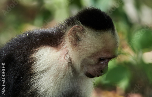 Fotografija wildlife photo of an Colombian white-faced capuchin - Cebus capucinus