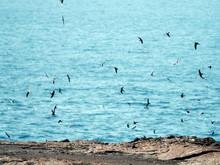 Flying Gal√°pagos Petrels