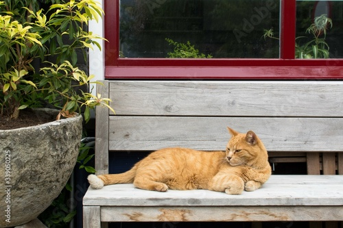 Fototapeta High Angle View Of Ginger Cat Resting On Bench At Park