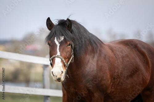 Fototapeta portrait of old draft mare horse in halter in wooden paddock in spring daytime obraz