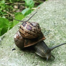 Snails Mating On Rock