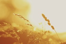 Close-up Of Reed Grass During Sunset