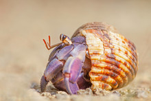 Blueberry Hermit Crab On The Beach In Okinawa, Japan