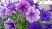 Close-up Of Purple Petunia Flowers