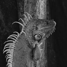 Close-up Of Iguana On Tree