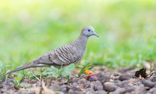 Stunning Zebra Dove Looks For ...