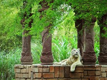 White Tiger Resting On Abandoned Gazebo In Forest