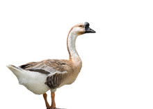 Image Of African Goose On Whit...