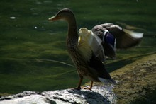 Duck With Spread Wings