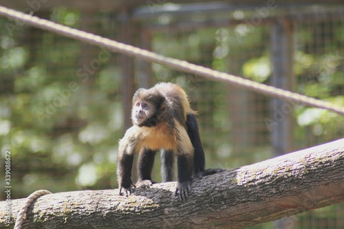 Low Angle View Of Capuchin Monkey On Tree Slika na platnu