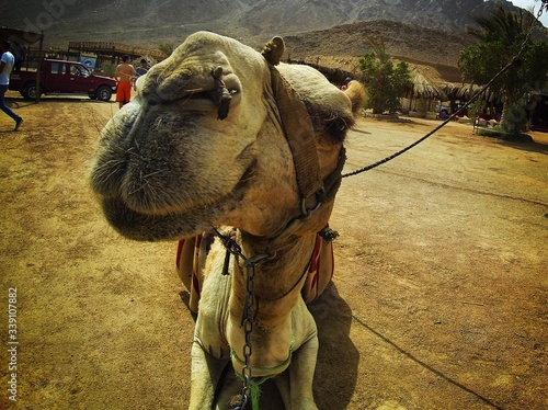 Vászonkép Close-up Of Camel Resting On Field