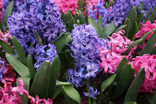 Purple And Pink Hyacinth Flowe...