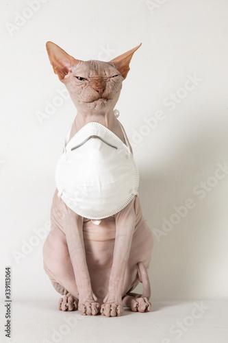 Photo Masked Sphynx grumpy