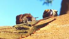 Close-up Of Snails On Eucalyptus Tree