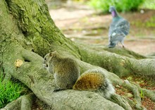 Squirrel On Root
