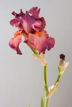 Flower Iris On The White Background