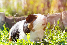 Cute Guinea Pig On Green Grass...