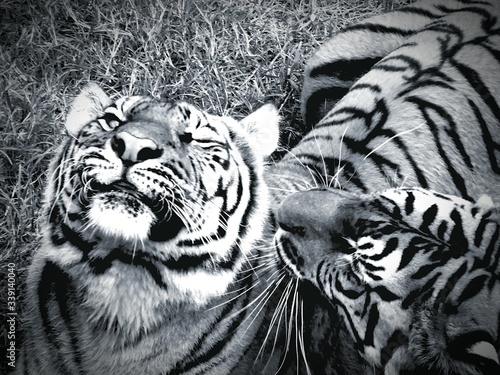 Close-up Of White Tigers At Zoo