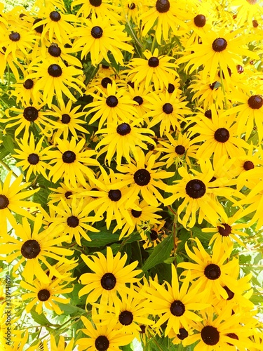 High Angle View Of Black-eyed Susans Blooming In Park Fototapet
